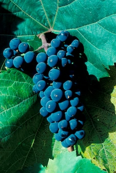 Close up of purple bunch of grapes hanging on vine