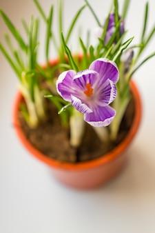 창틀에 꽃에서 보라색 크 로커 스의 닫습니다. 봄의 꽃, 원예