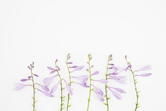 Close-up of purple flowers on white background