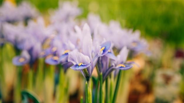 정원에서 보라색 아이리스 꽃의 근접 촬영