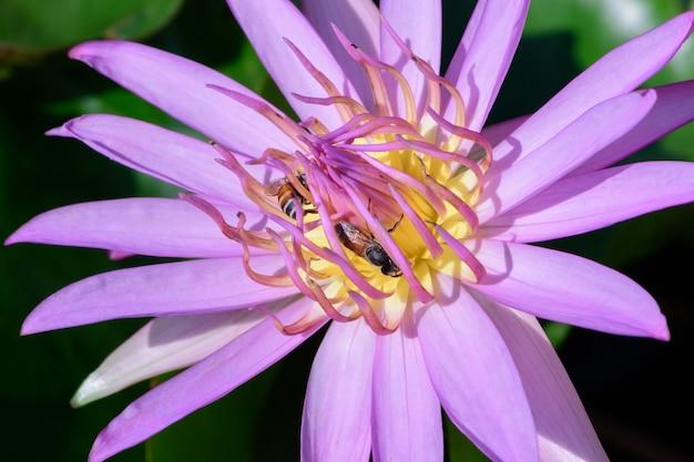 紫の蓮と蜂のクローズアップ