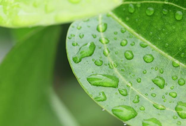 Заделывают пропитанные дождем листья корицы