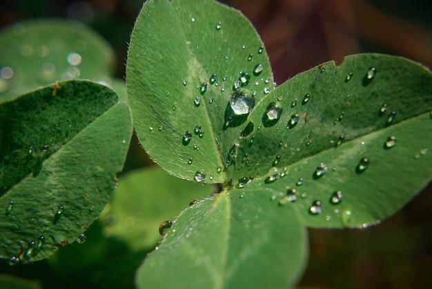 クローバーの雨滴のクローズアップ