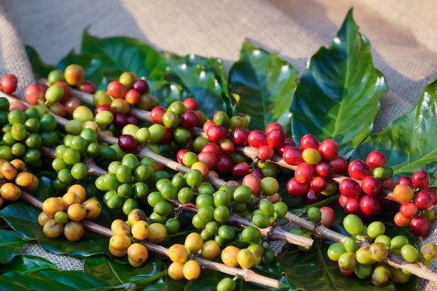 Крупный план сырых кофейных зерен и утреннее солнце.