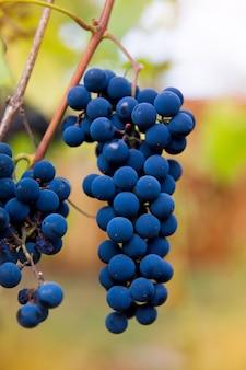 ぼやけた背景とコピースペースでブドウ園で育つ赤黒の房イザベラブドウのクローズアップ。ブドウ園のコンセプトで収穫。