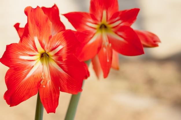 Заделывают красных лилий в саду