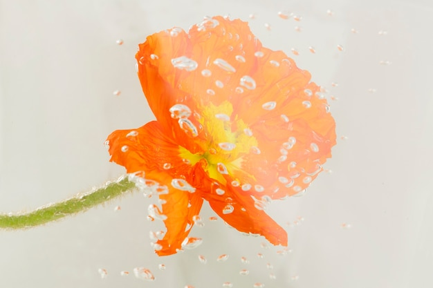 Крупным планом красный цветок мака с каплями воды