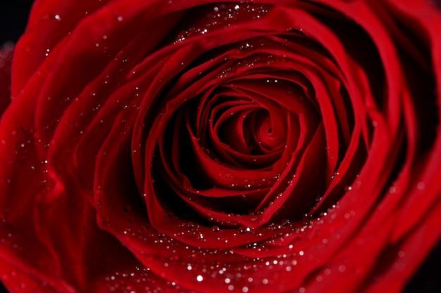 赤いバラの花のクローズアップ