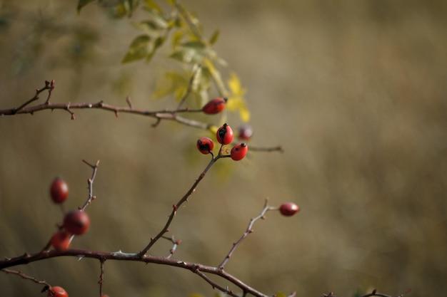 맨 손으로 나뭇 가지에 빨간 로즈 힙 열매의 클로즈업
