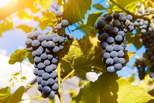 午後の太陽の下でブドウの木にぶら下がっている赤ワインのブドウのクローズアップ