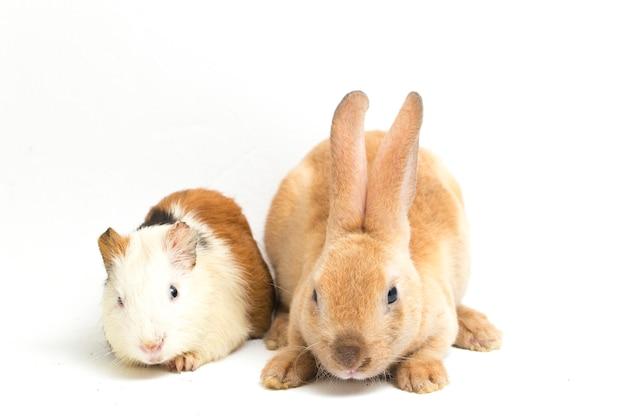 Крупный план кролика рекс и морской свинки