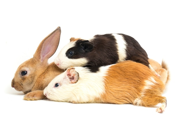 レックスのウサギとモルモットのクローズアップ