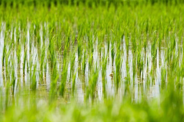 インドネシア、バリ島の水田のクローズアップ