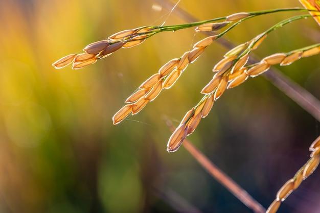 다시 햇빛에 의해 조명 필드에 쌀 씨앗의 닫습니다