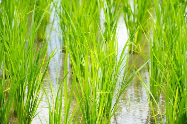 水田における稲芽植物の成長のクローズアップ。