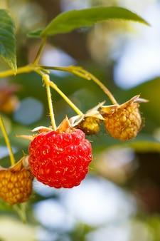 Крупным планом спелой и незрелой малины в саду малая глубина резкости, мягкий выборочный фокус на красной малине