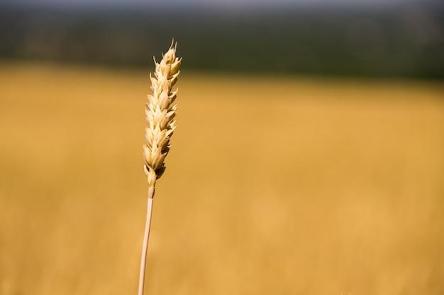 Крупный план спелых колосьев пшеницы на пшеничном поле
