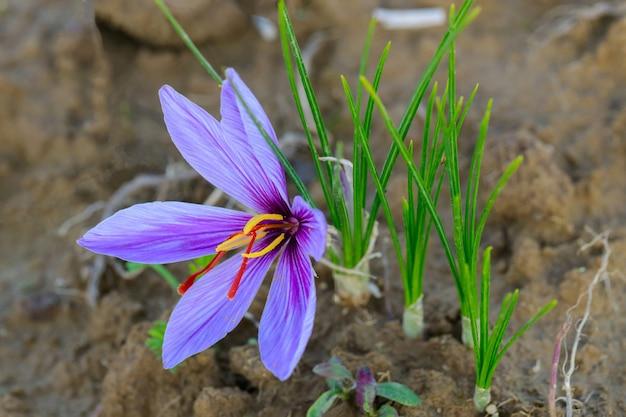 수확 시간에 들판에 있는 사프란 꽃 클로즈업