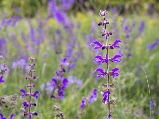 牧草地のサルビアの花のクローズアップ。