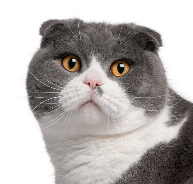 Крупный план шотландской вислоухой кошки, 1 год,