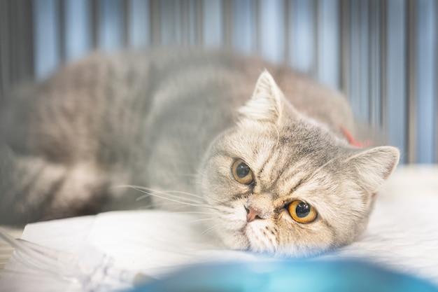 ケージに座っているスコティッシュフォールド猫のクローズアップ