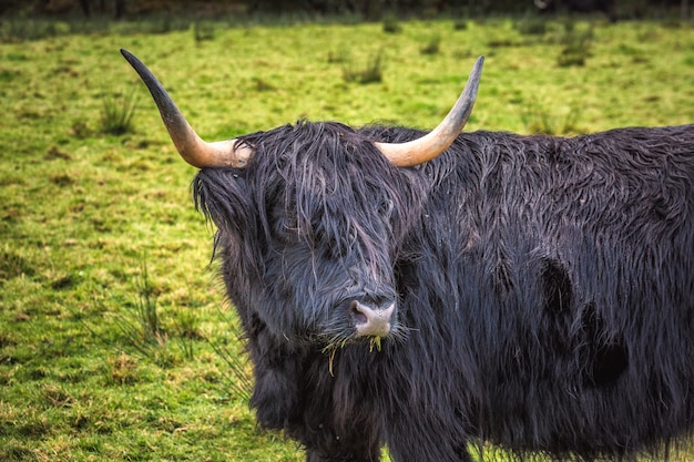 Крупным планом шотландской горной коровы