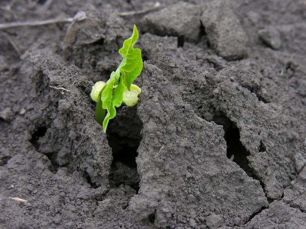 토양에서 자라는 콩 묘목의 클로즈업