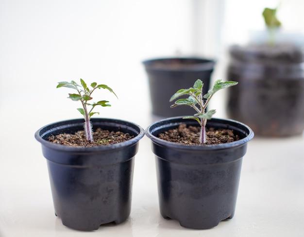 春の土壌の屋内で成長しているコンテナ内のトマト植物の緑の小さな薄い葉の苗のクローズアップ。窓辺の苗
