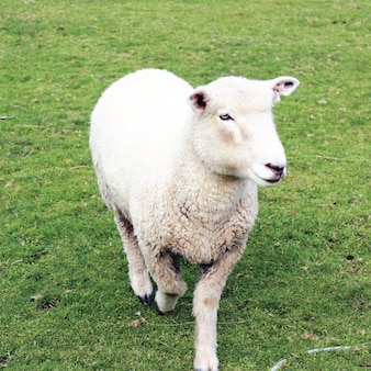 Close up of Sheep Coming Forward with Green Grass Background