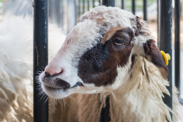 Крупный план фона овец