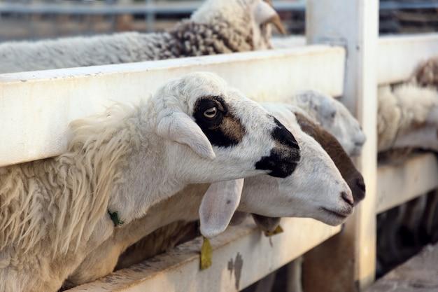 Закрыть овец на ферме.