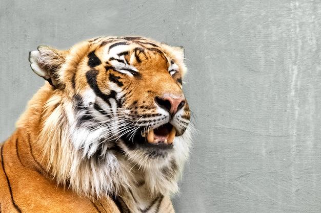 Крупным планом лицо сибирского тигра