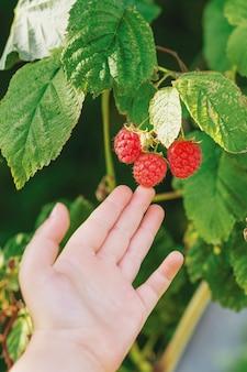 Закройте маленькую руку ребенка, касающуюся красной малины на кусте во время сбора ягод. урожай малины.