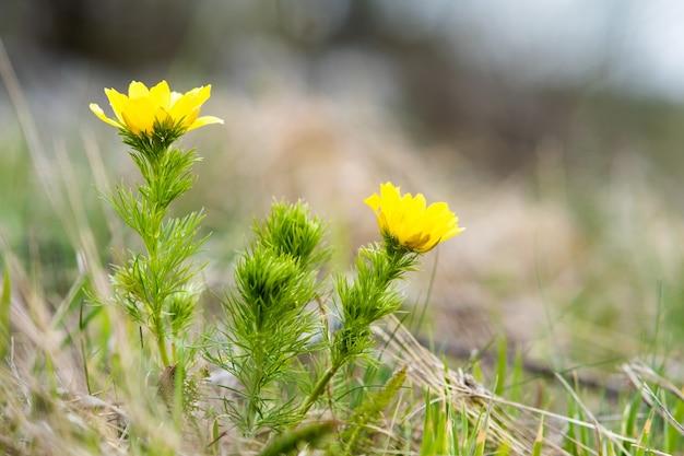 緑の春の野原に咲く小さな黄色い野花のクローズアップ。
