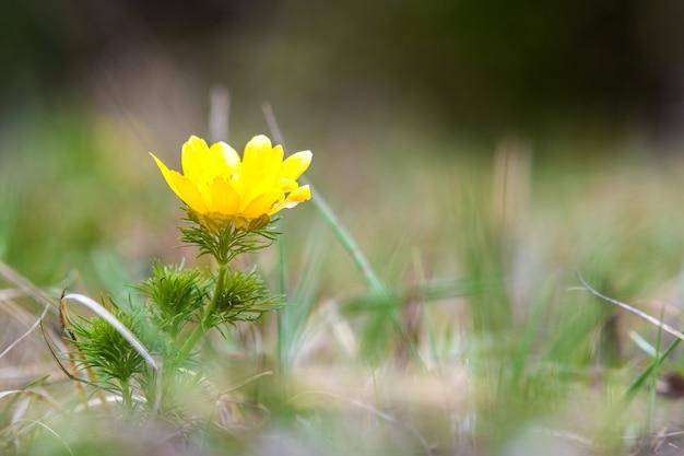 Крупным планом маленький желтый полевой цветок, цветущий в зеленом весеннем поле