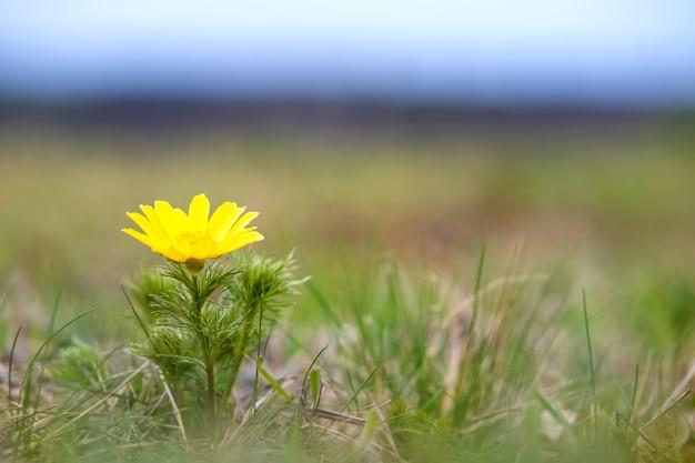 Закройте небольшой желтый полевой цветок, цветущий в зеленом весеннем поле.