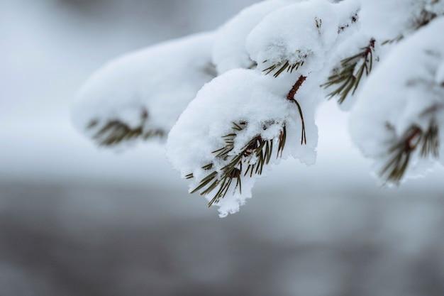Крупным планом заснеженные деревья в национальном парке рииситунтури, финляндия