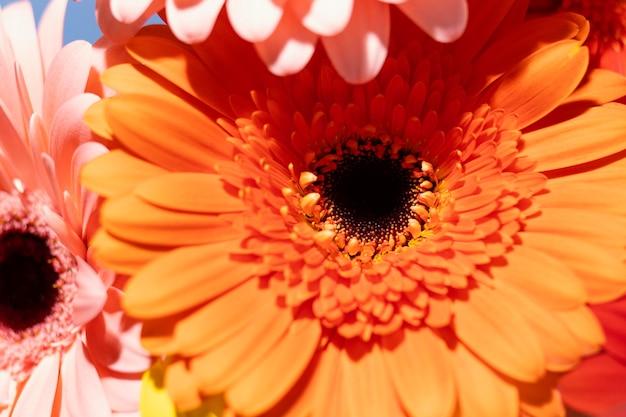 春のガーベラの花のクローズアップ