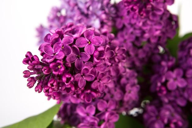 Крупным планом весенние сиреневые фиолетовые цветы