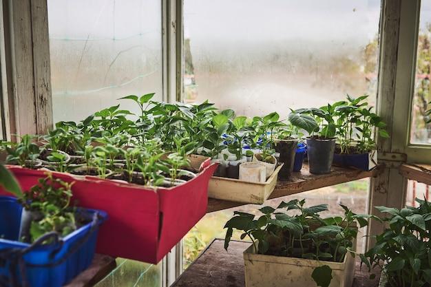 旧国の家庭用温室の土壌で育てられた赤ちゃん植物の芽と施肥された土壌に植えられたさまざまな苗のクローズアップ