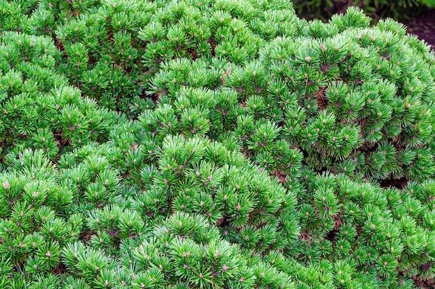 Крупным планом ели с декоративными круглыми ветвями естественный зеленый фон новогодняя елка на открытом воздухе