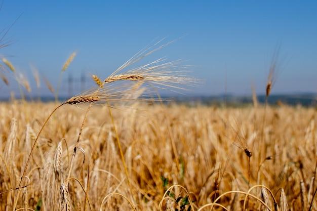 金と熟したライ麦の茎のクローズアップ