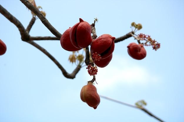 Закройте вверх плодов sterculia foetida (bastard poon tree).