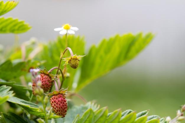 Конец-вверх куста клубники с малыми зелеными и большими красными зрелыми очень вкусными ягодами освещенными летним солнцем на запачканной темной почве. сельское хозяйство, сельское хозяйство и концепция здорового питания.