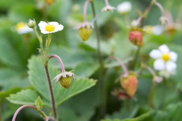 Конец-вверх куста клубники с малыми зелеными и большими красными зрелыми очень вкусными ягодами осветил солнцем лета на запачканной темной предпосылке почвы. сельское хозяйство, сельское хозяйство и концепция здорового питания.