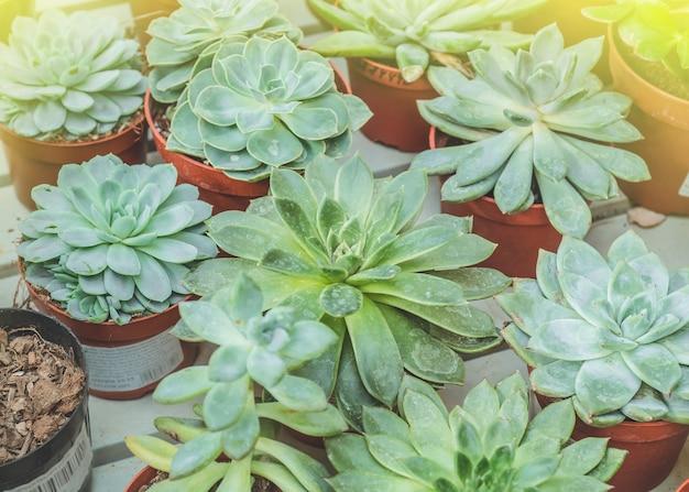 Крупным планом сочные растения echeveria в мини-горшке. листья спрессованы в слои. миниатюрные суккуленты (сочные кактусы). ботанический сад, цветоводство, концепция садоводческой отрасли