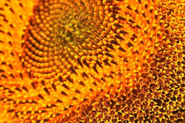 여름 노란 해바라기의 클로즈업입니다. 농업 자연 배경, 질감 및 벽지