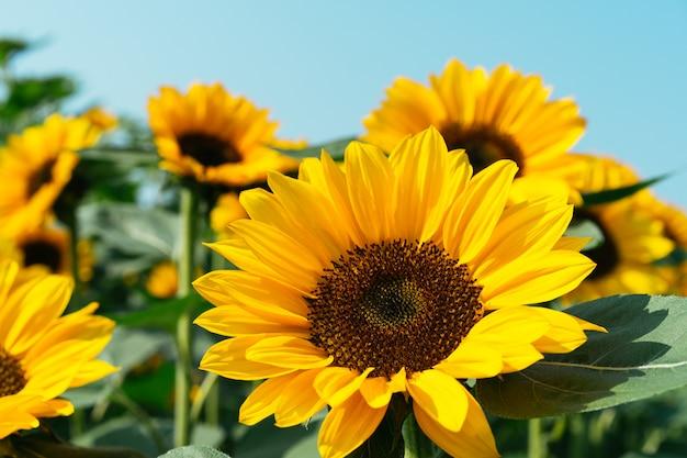 태양 꽃의 클로즈업.