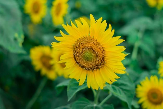 Крупный план цветущих подсолнухов желтыми цветами