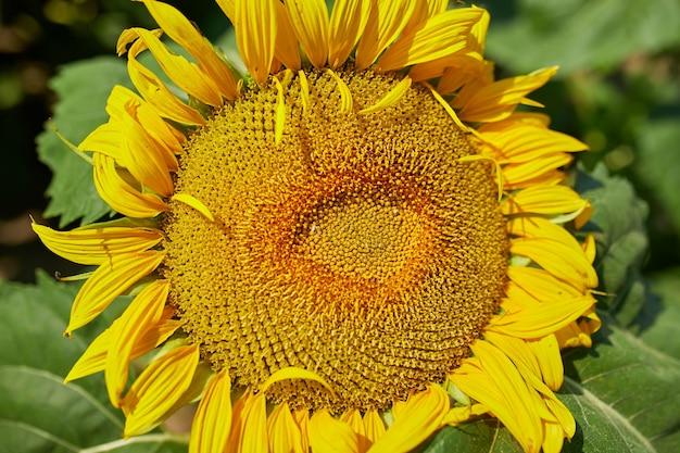 輝く黄色の光の中でひまわりのクローズアップ、明るい黄色と満開のひまわり畑、天然油、農業